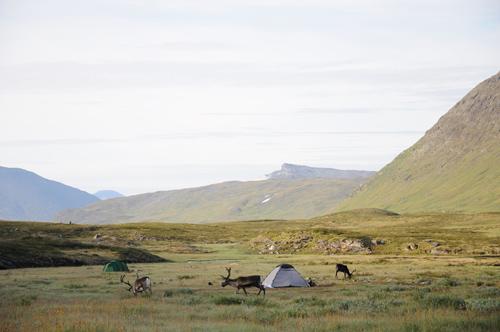 Rentiere zwischen den Zelten